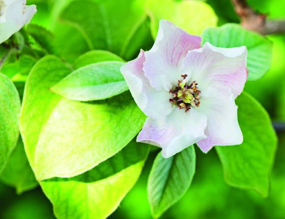 Květy kdouloví jsou velké, mají až 5 cm v průměru.