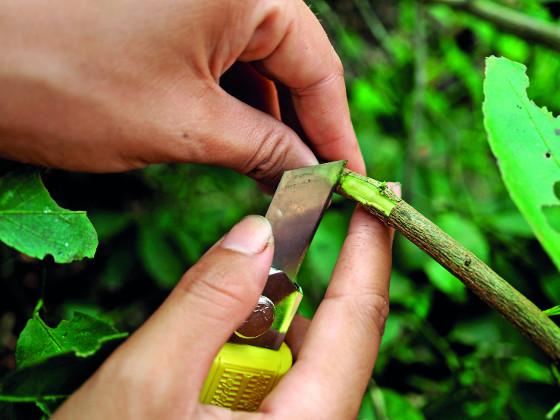 Očkování je vhodné k rozmnožování růží a také některých ovocných stromů