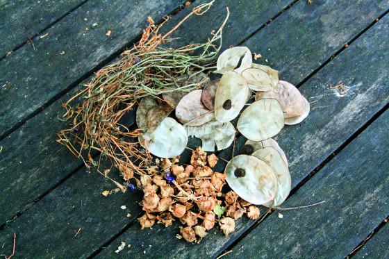 Mezi semena, která se snadno sbírají, patří například měsíčnice a lobelky.