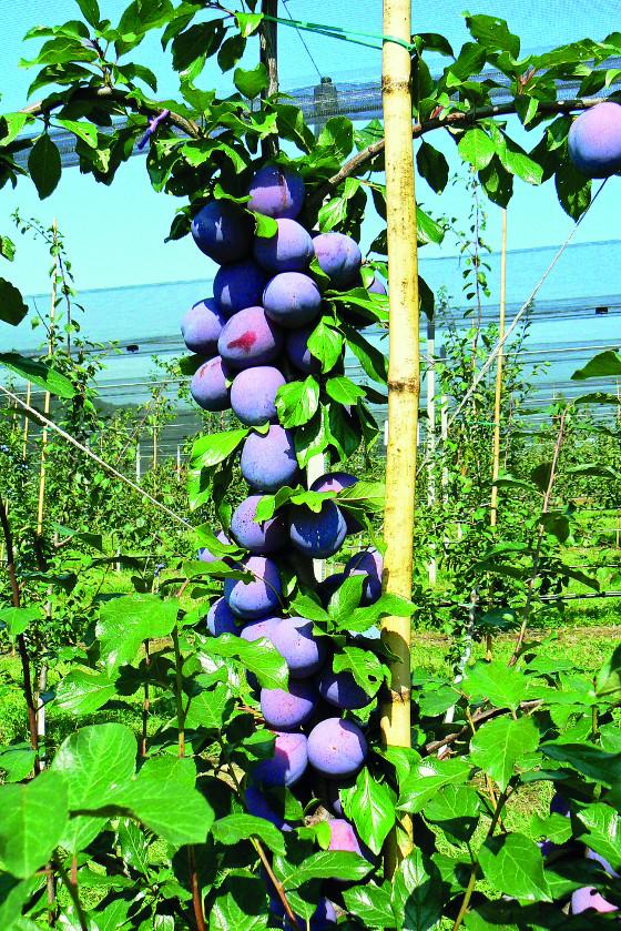 Prezident je stará anglická odrůda, která se u nás začíná hodně pěstovat.