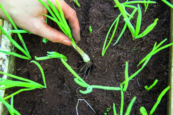 Pro ozimé pěstování jsou určeny odrůdy kuchyňské cibule Hiberna  aAugusta.