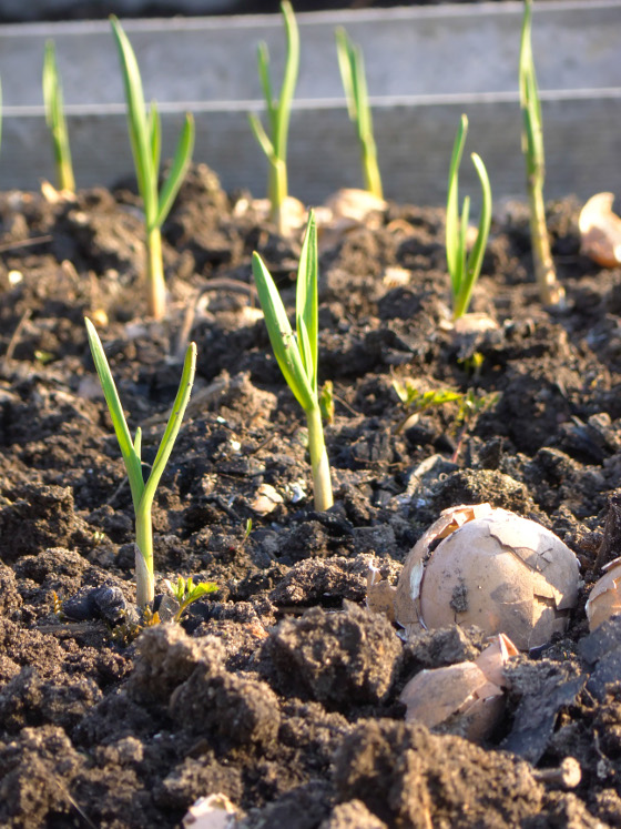 Young green garlic sprouts growing on vegetable garden.