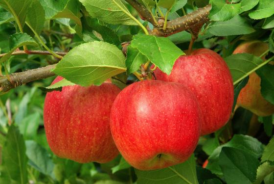 ovoce6
