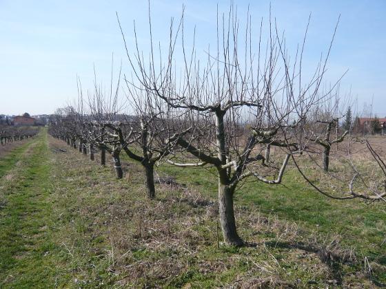 Zakrsky jabloni