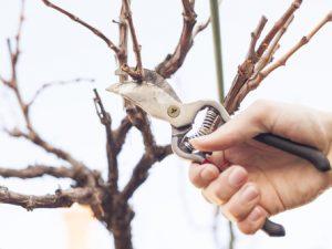 Běžným problémem je špatné uchopení nůžek v ruce, které způsobuje rozdrcení stříhané větve.