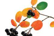 Temnoplodec černoplodý (Aronia melanocarpa) je zajímavý a pěkný keř.