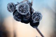 Nejvhodnější doba ke sklizni úrody nastává až po prvních mrazech, kdy plody aronie zesládnou a lépe se zpracovávají.