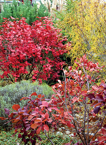 Kalina obecná (Viburnum opulus) a ruj vlasatá (Cotinus coggygria)
