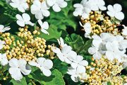 Nic speciálního nebude potřebovat například domácí kalina obecná (Viburnum opulus).