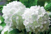 Rostlina pěkně kvete, květenství je podle kultivaru smetanově bílé, ale i narůžovělé.