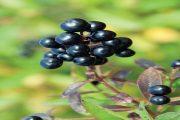 Ptačí zob obecný tvoří plody kulaté, téměř bez stopek.