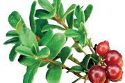 Plody brusnice brusinky vyrůstají vždy ve skupince.