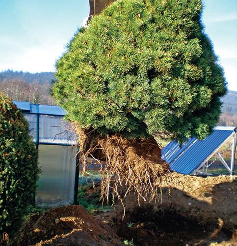 Upevněná a vyzvednutá borovice