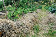 Bohatý mulč ze sena či slámy umožní půdě dobře hospodařit s vláhou, záhony téměř nepotřebují zalévat.
