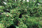 Stromy tradičních ovocných odrůd plodí desítky let, je tudíž lepší je v zahradě ponechat než zbrkle nahrazovat.