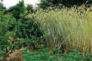 Na zahradě je i políčko se starou odrůdou obilí se stébly vysokými až 180 cm. Dnešní odrůdy jsou o polovinu nižší.