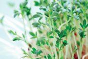 Udělejte si zásobu semen řeřichy na celou zimu.