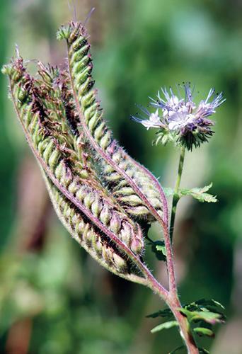 Zelené hnojení se pěstuje se záměrem obohatit půdu organickou hmotou