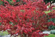 Proměny vzhledu některých listnatých keřů během roku patří k vlastnostem, které tvůrci zahrad přímo milují.