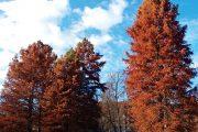 Tisovec dvouřadý (Taxodium distichum) je opadavý jehličnatý strom, který pochází z jihovýchodní části USA.