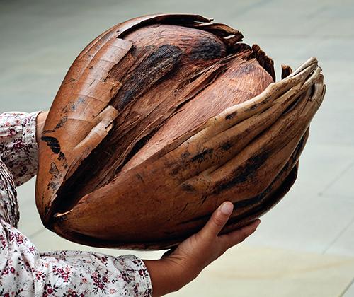 Extrémně velké semeno můžete najít v bujné vegetaci Seychelských ostrovů.