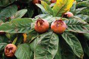Plody mišpule jsou od dávných dob považovány za tradiční a cenné ovoce.