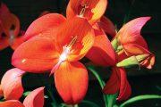 V jižní Africe a na Madagaskaru roste mnoho krásných rostlin.