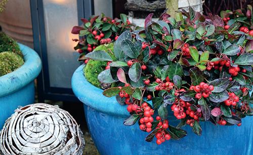 Červené bobule zůstávají dlouho svěží a atraktivní, libavka se proto využívá i k výzdobě balkonu či terasy.