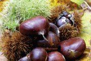 Jedlé kaštany jsou plody kaštanovníku jedlého (Castanea sativa) a jsou považovány za cenné ovoce.