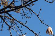 Vlnovec pětimužný (Ceiba pentandra) je neobvyklý tropický strom pocházející z Jižní Ameriky.