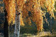 Břízu často vnímáme jako obyčejný strom, má však mnoho cenných a zajímavých vlastností.