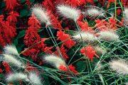 Právě na přelomu léta a podzimu vynikne typický tvar a vybarvení okrasných trav.