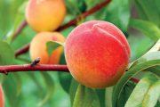 Broskvoně se u nás pěstují poměrně málo, na zahrádkách najdete spíš meruňky.