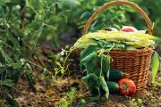 V září dozrávají tykve, okurky polní i nakládačky, cibule a česnek, kukuřice, kořenová zelenina, brambory a další zeleninové druhy.