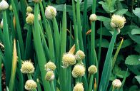 Cibuli sibiřské se říká také sečka.