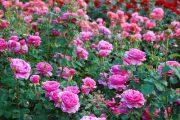 Anglická růže se stala častým prvkem perenových záhonů.