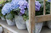 Hortenzie velkolistá je známá také jako hrnkovaná rostlina.