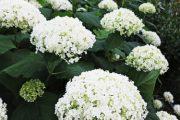 Krýsnými sněhově bílými květy se může chlubit hortenzie stromečkovitá.