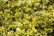 Brslen Fortuneův se může pochlubit celou řadou pestrých kultivarů.