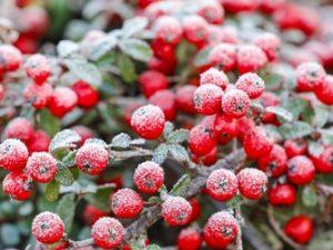 Skalníky drží na svých větvích dlouho do zimy okrasné plody.