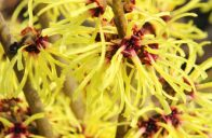Hamamelis x intermedia ´Barmsted´t Gold´