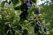 Muchovník je nenáročný a jeho plody se dají v domácích podmínkách skvěle zpracovat.