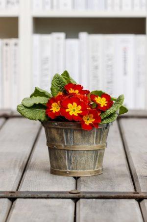 Až se prvosenek v domě nabažíte, vysaďte je ven do zahrady.