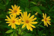 Jasně žluté úbory rod slunečnic nezapřou.