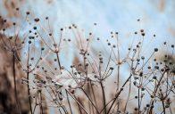 Suché semeníky některých trvalek můžete na zahradě nechat až do jara.