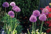 Pozdní jaro patří drobnokvětým japonským azalkám a nápadným okrasným česnekům.