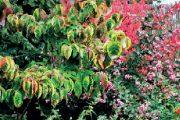 I na podzim ještě na zahradě kvetou některé druhy rostlin, ale hlavní roli přebírají rostliny ozdobné podzimním zbarvením.