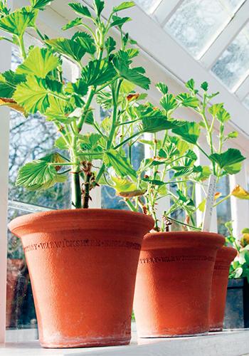 V interiéru přezimující nádobové rostliny by měly být umístěny v chladné místnosti.