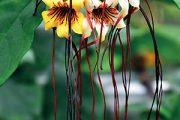 Především v tropických lesích západní Afriky roste krutikvět (Strophanthus) – liána podivná ve všech ohledech.