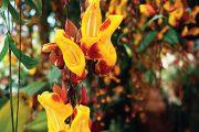 Thunbergie mysorská (Thunbergia mysorensis) je blízce příbuzná známé thunbergii křídlaté (T. alata).